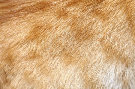 Close-up of ginger cat fur for texture