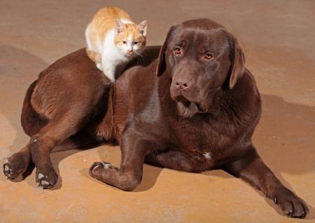 gato naranja: Peque�o gato naranja con un labrador marr�n