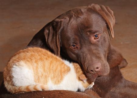Little orange cat with a brown labrador