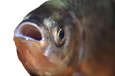 scardinius: Fish head close-up