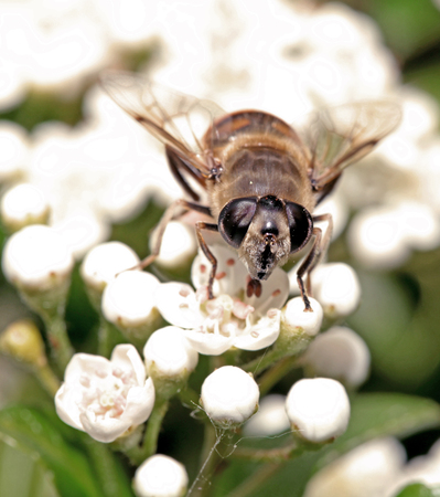 compound eyes: Bee on white flower with big eyes