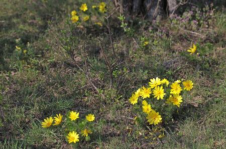 tremante: Fiori gialli tremano nel vento