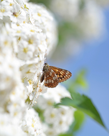 White flowers blooming bush with a butterfly photo