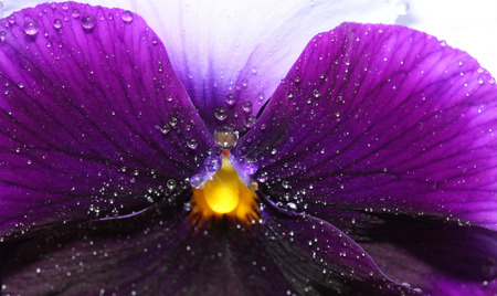 Tricolor pansy flower plant natural background