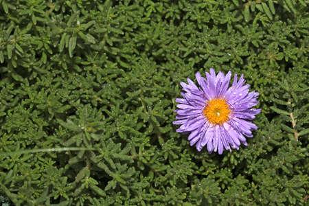 Single purple flower growing in the green