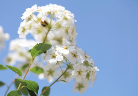 White flowers blooming bush with a ladybug Zdjęcie Seryjne