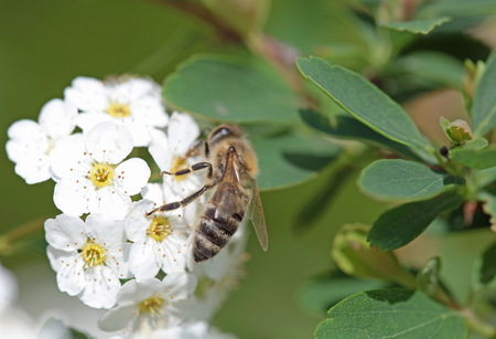 White flowers blooming bush with a bee