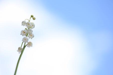 Lily of the Valley flowers against blue sky Zdjęcie Seryjne