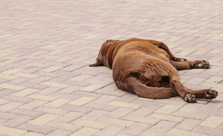 Chocolat labrador lying in the yard