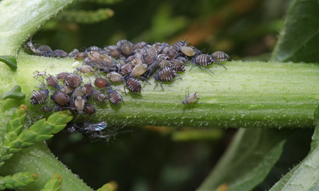 Aphids on a plant stem