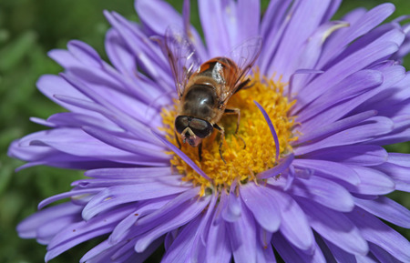 Bee with big eyes sitting on a purple flower Zdjęcie Seryjne