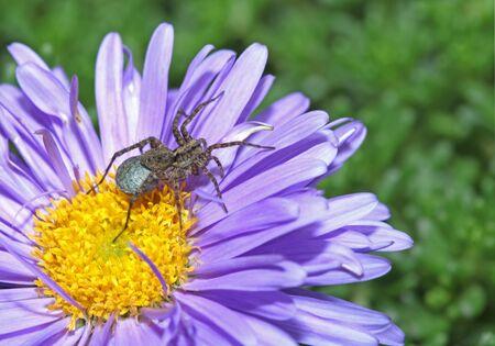 Grey spider sitting on a purple flower