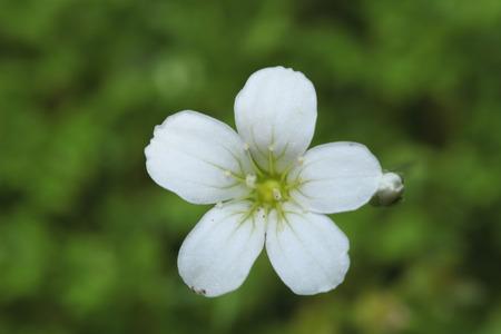 Single little white flower on green Zdjęcie Seryjne