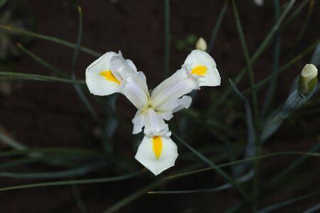 White Gladiolus flower