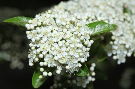 Background of little white flowers blooming bush Zdjęcie Seryjne