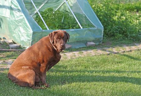 Chocolate labrador retriever dog sitting outside