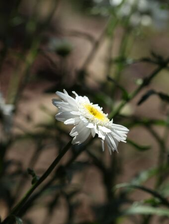 Single daisy flower isolated in the shadow