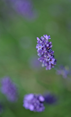 Lavenders close-up with blur background in summer