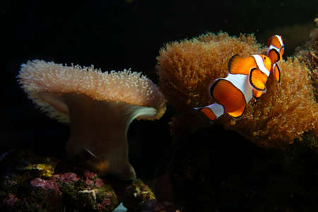 pink anemonefish: Crownfish or Anemonefish, well known as Nemo, in Sea Anemone Stock Photo