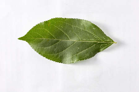 The green leaf of an apple tree on a white background taken in close-up can be used by the designer.