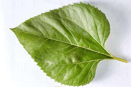 A green poplar leaf on a white background taken in close-up can be used by the designer. Stock fotó