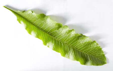 A green horseradish leaf on a white background taken in close-up can be used by the designer. Stock fotó