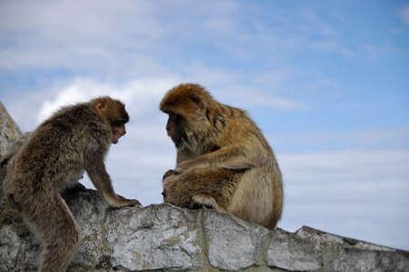 disharmony: Monkey family disharmony  Attack  Gibraltar