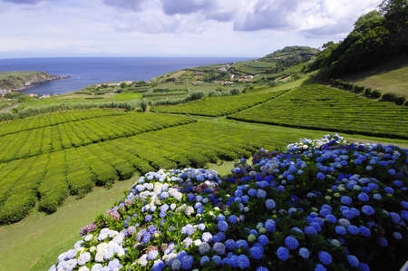 The tea plantation, Sao Miguel, Azores photo