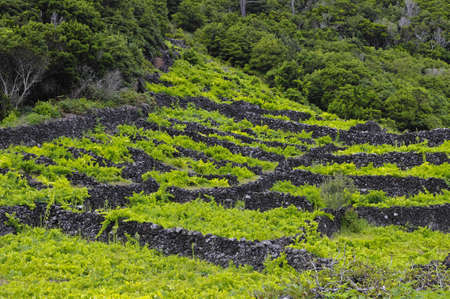 Pico is an island, which is famous for the production of extremely delicious wines, Vineyards are inscribed on the UNESCO World Heritage Site, Azores Standard-Bild