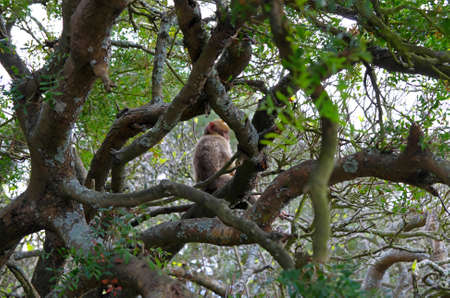 Leggy monkey on the tree  Gibraltar  photo