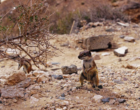 barbery: Barbary Ground Squirrel, Fuerteventura