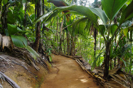 jungle: Pathway in jungle, Vallee de Mai, Seychelles - travel background.