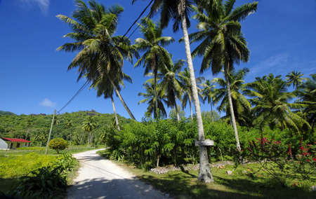 palmtrees: Beautiful palmtrees, in Union Estate, La Digue, Seychelles islands, with granite mountains.