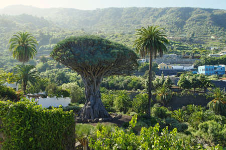 Millennial Drago tree at Icod de los Vinos, Tenerife Island , Spain