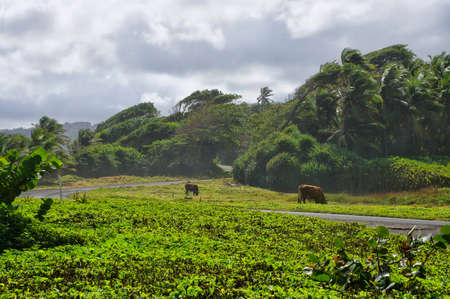 A paved road among green meadows at Londonderry bay on Dominica island, Lesser Antilles