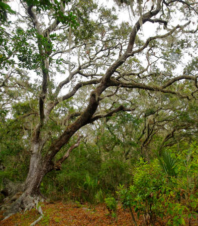 Lush tropical woods with abundant Spanish moss draping branches of live oak trees at Big Talbot Island State Park, Florida, USA