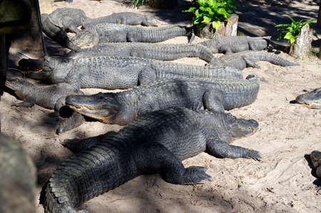 A group of Alligators gather near the edge of a pond, St. Augustine Alligator farm, St. Augustine, FL