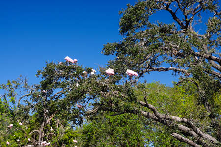 The Roseate Spoonbills on the tree in St. Augustine, FL.