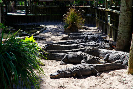 ST AUGUSTINE, FLORIDA, US - OCTOBER 23, 2017: A group of Alligators gather near the edge of a pond, St. Augustine Alligator farm, St. Augustine, FL
