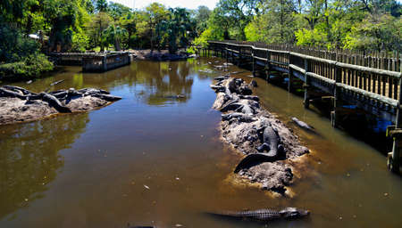 The captive alligators island the farm located in St. Augustine, Florida, USA Editorial
