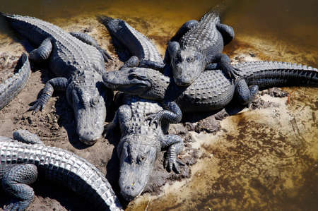ST AUGUSTINE, FLORIDA, US - OCTOBER 23, 2017: The captive alligators island the farm located in St. Augustine, Florida, USA Editorial
