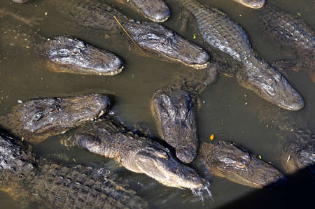 ST AUGUSTINE, FLORIDA, US - OCTOBER 23, 2017: A group of Alligators gather near the edge of a pond, St. Augustine Alligator farm, St. Augustine, Florida, USA
