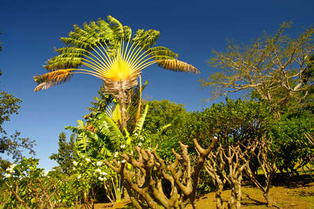 Wild Madagascar traveller`s tree, Ravenala madagascariensis in the north west of Basse-Terre, Guadeloupe Standard-Bild - 132609169
