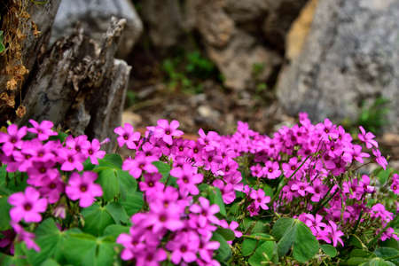 Mediterranean flowers right next to the decorated stone-walk in Omis, Dalmatia, Croatia, Europe