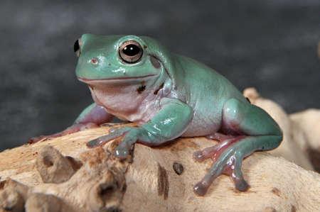 arboreal frog: Caerulea de Litoria, el oro azul carulenne rana de �rbol