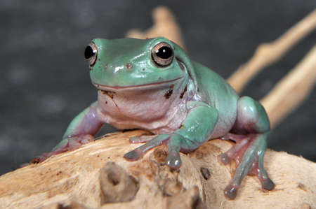 arboreal frog: Litoria caerulea, the blue gold carulenne Tree Frog