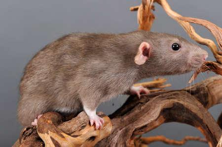 norvegicus: domestic rat