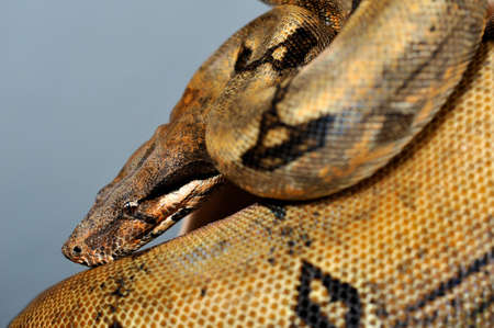 constrictor: boa constrictor imperator reducced patern