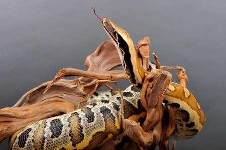 constrictor: boa constrictor imperator