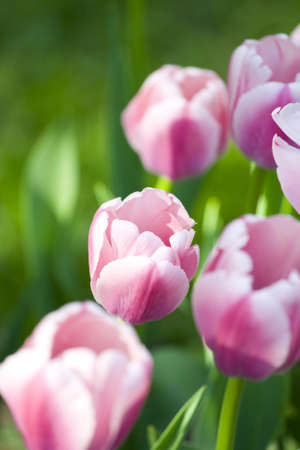 White-pink tulips in city park photo